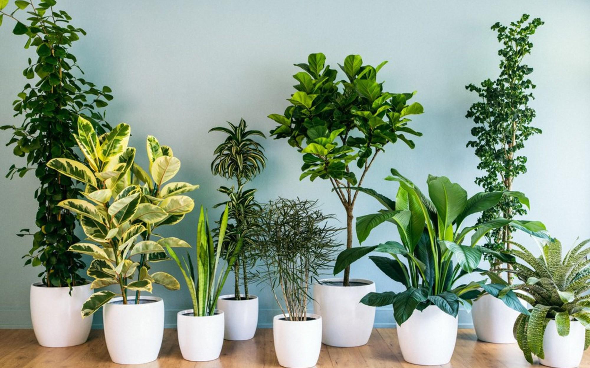 10 loại cây cảnh không cần quá nhiều nắng lại chịu được điều hòa,